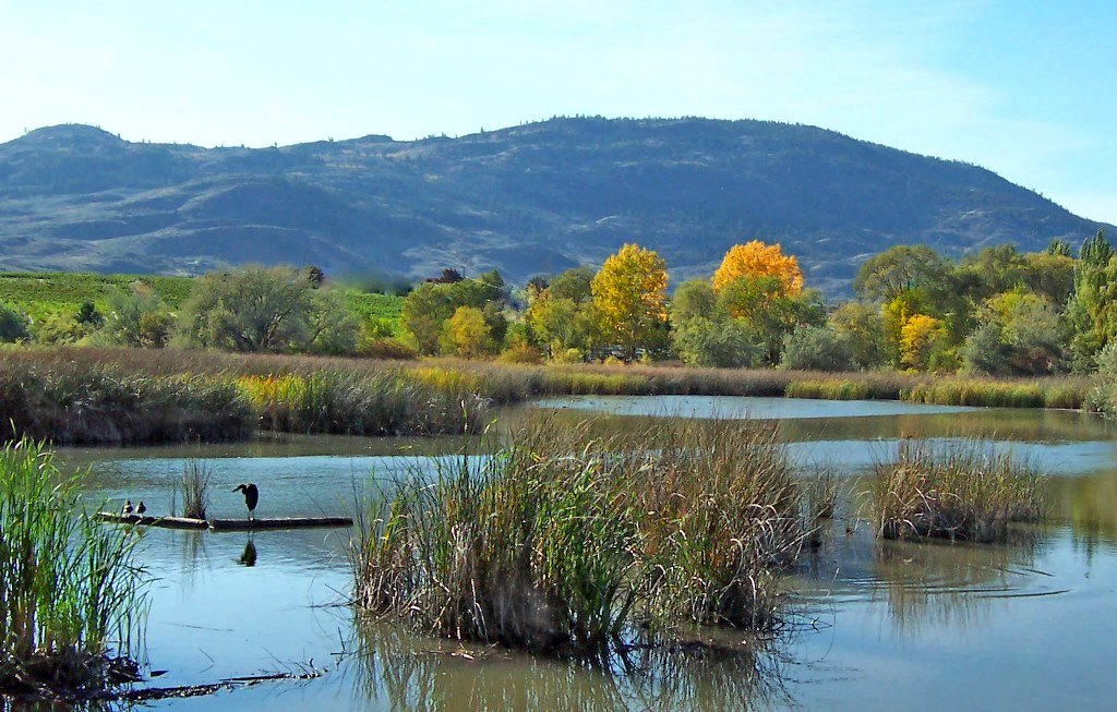 Wetlands are vitally important to the health of Osoyoos Lake and endangered species.  Photo Credit: Alicia Osland