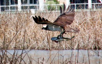 Osprey take full advantage of newly expanded hunting grounds on Osoyoos Lake